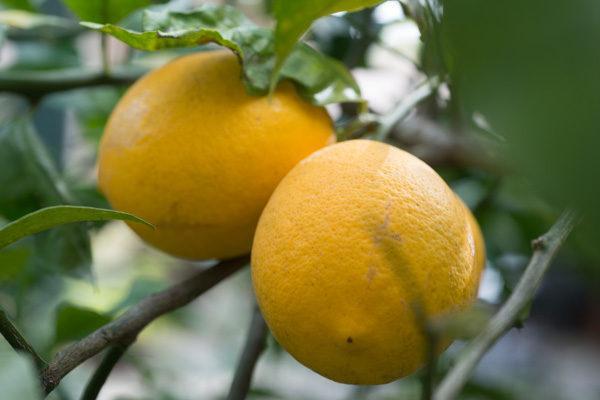 Lemond Curd